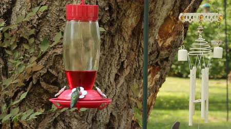 hummingbird drinks from a plastic feeder Wideo