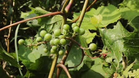 wild grapevine with unripe grapes