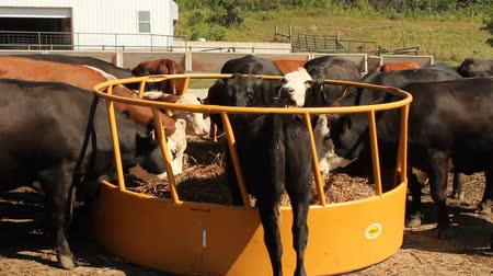 herd of cows eating at a feeding station