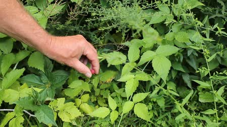 picking a wild raspberry