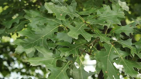 closeup view of oak leaves