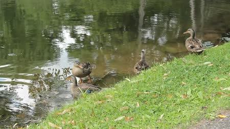 a family of mallard ducks