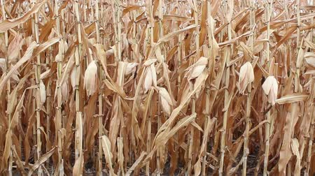 field of seed corn waiting for harvest