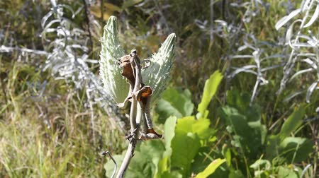 milkweed plant showing the seed pods