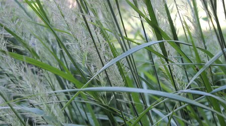 stalks of maiden hair grass in a gentle breeze Wideo