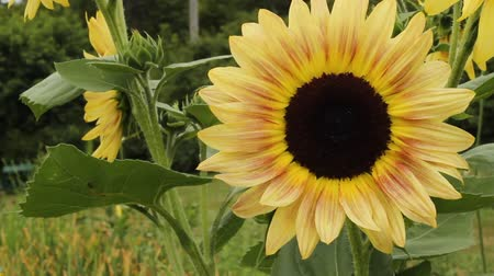 closeup view of a giant sunflower blossom
