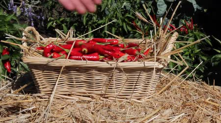 placing fresh chili peppers into a wicker basket Wideo