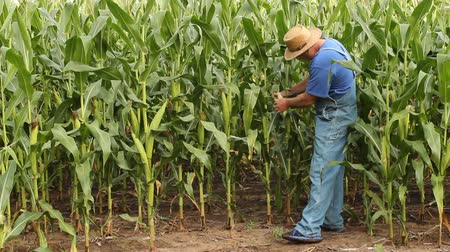 farmer checking to see if his corn crop is ready for harvest