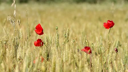 zboże : Mature cereal field with poppy