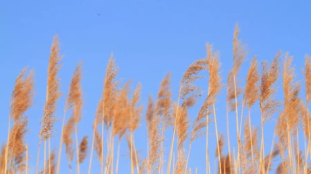 sazlık : Reed and blue sky Stok Video