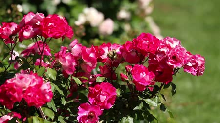 мягкий : Beautiful red rose bush