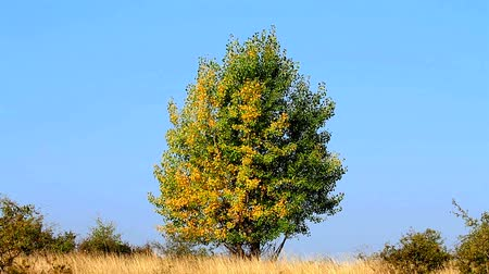 populus : Beautiful young poplar tree