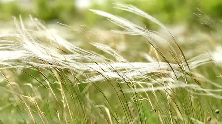 цветение : Beautiful stipa in the wind