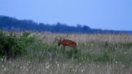 papel : Young roe buck in the evening meadow