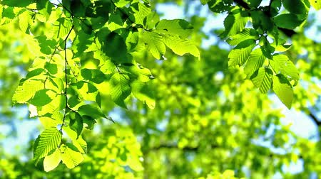 armoni : Hornbeam leaves in spring Stok Video