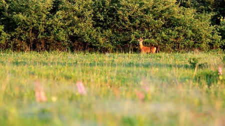 papel : Young roe buck int he meadow Stok Video
