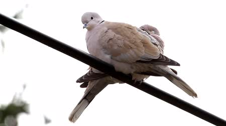 collared : Eurasian Collared Doves couple