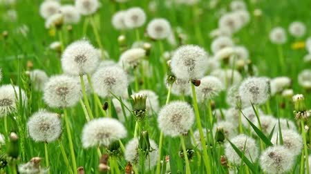 kimse : Beautiful dandelions in the spring meadow