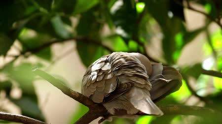 wild bird : Eurasian Collared Dove self cleaning