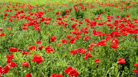 haşhaş : Poppy field