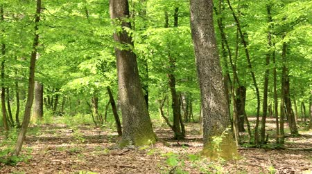 dzsungel : Green forest with oak trees