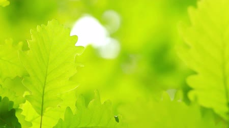 oak forest : Beautiful, harmonious forest detail, with oak leaves Stock Footage