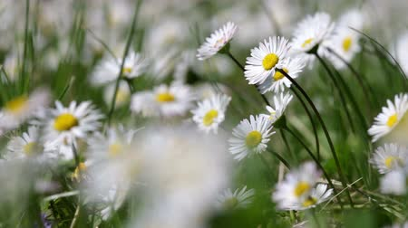 florido : Beautiful white daisy growing in a summer garden.Leucanthemum vulgare