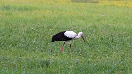 boggy : Great stork foraging in a wet meadow