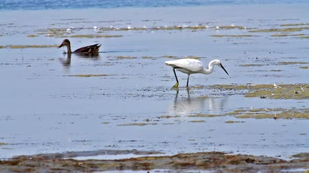 little egret : Egret chasing a small fish
