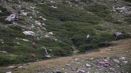 chamois : Chamois in the Mountain of Pyrenees(Spain) Stock Footage