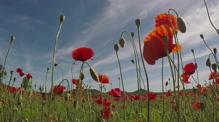 haşhaş : Field of red poppy flowers in early summer Stok Video