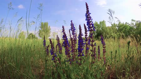 pratensis : Meadow Clary (Salvia pratensis) in the springtime