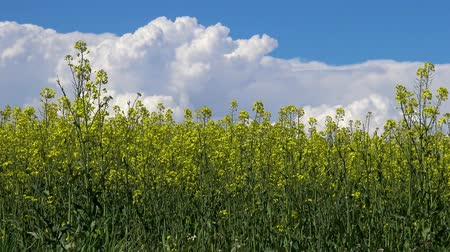 canola seeds : Beautiful colza field in springtime Stock Footage