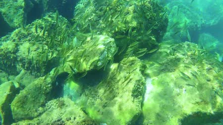 fauna of the tropics : Underwater life with a school of fish in Spanish coastal Stock Footage