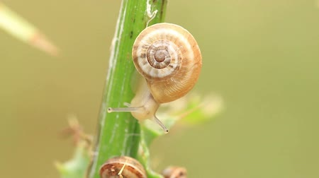 Small snails on the stem of the plant  (time lapse) Wideo