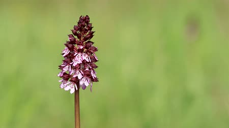 Lady Orchid flower on the field in springtime (Orchis purpurea)
