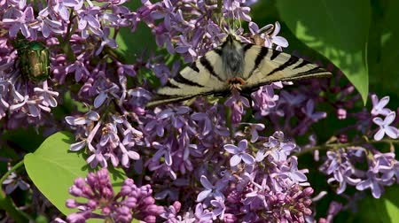 Insects sucking nectar in a flowers from common lilac bush Wideo