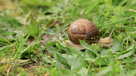 caracol : Burgundy snail on the field