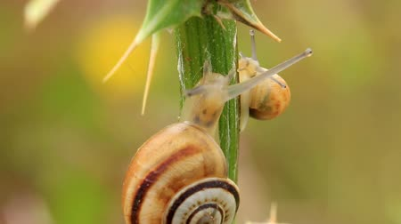 balçık : Small snails on the stem of the plant  (time lapse) Stok Video