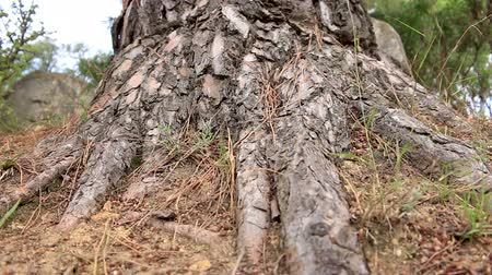 pinus : Old pine trunk (Pinus sylvestris) low angle shot Stock Footage