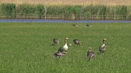 migrants : Anser fabalis, Bean Goose, Lower rhine family