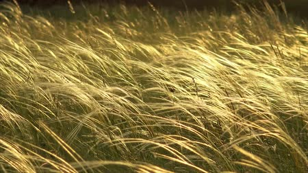 mead : Stipa plants in the sunset light on the meadow