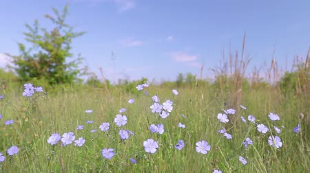 kırılganlık : Flax flowers on the field at springtime