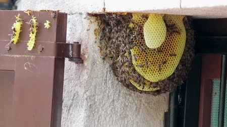 wandering : Bee colony on a door in a family house