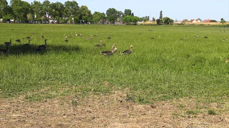 migrants : Anser fabalis, Bean Goose, Lower rhine family on the nature reserve field in Austria