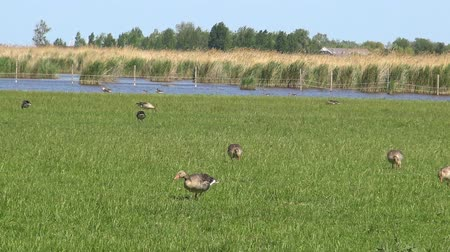 migrants : Anser fabalis, Bean Goose, Lower rhine family in a Austrian nature conservation area near the village Rust Stock Footage