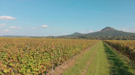 winogrona : Landscape view from a long grape rows in Hungary near the lake Balaton Wideo