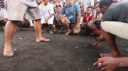 interdiction : BALI, INDONESIA - FEB 22, 2016: Locals during traditional cockfighting. Cockfighting is a very old tradition in Bali and religious aspects of cockfighting within Balinese Hinduism remain protected.