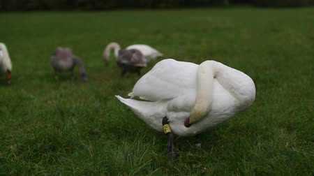 Swan family eating grass.