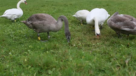 Swans eating grass in the meadow.